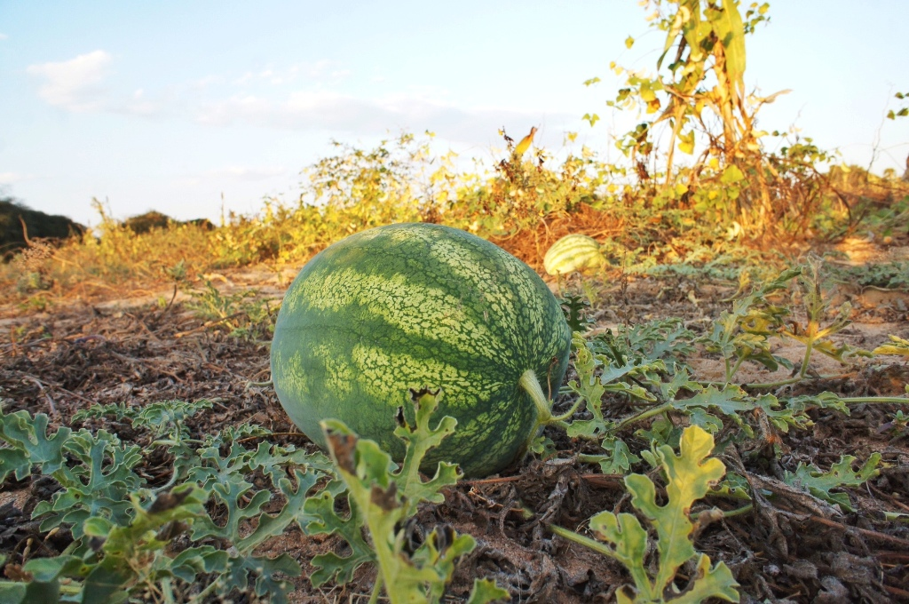 In search of a perfect sunset temple, we stumbled across a watermelon field. The watermelon turned out to half raw.