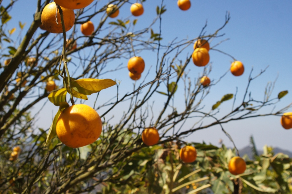 Among cultivated crops are oranges