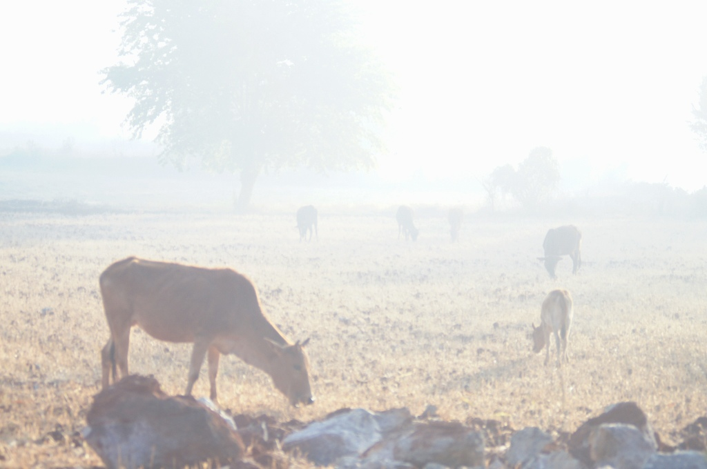 Cows in the mist.