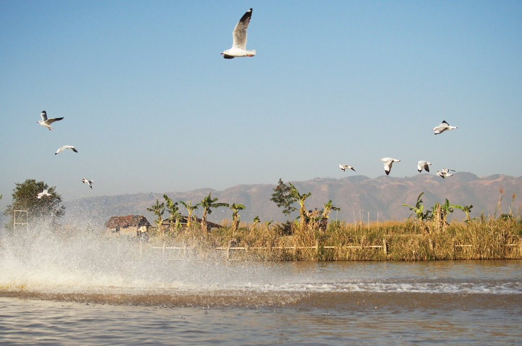 One of the most memorable things about Inle was gulls chasing boats either in hope to get some food or just for sheer fun.